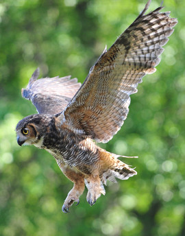 bill menzel - owl 03.jpg