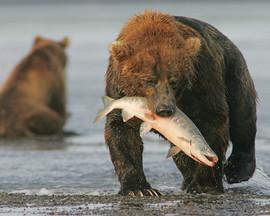 bill menzel - bears 02.jpg