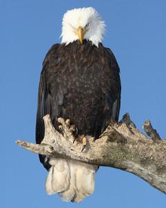 bill menzel - eagles 08.jpg