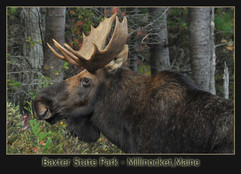 bill menzel - moose 03.jpg