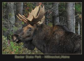 bill menzel - moose 03.jpg