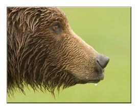 bill menzel - bears 05.jpg