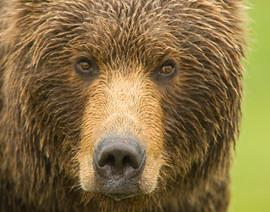 bill menzel - bears 15.jpg