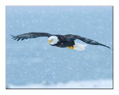 bill menzel - eagles 02.jpg