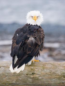 bill menzel - eagles 06.jpg