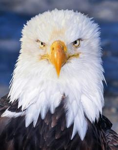 bill menzel - eagles 11.jpg