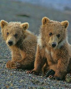 bill menzel - bears 13.jpg