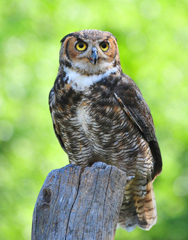 bill menzel - owl 02.jpg