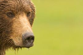 bill menzel - bears 14.jpg