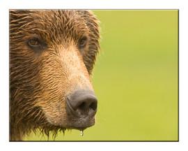 bill menzel - bears 04.jpg