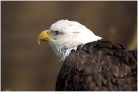 bill menzel - eagles 03.jpg