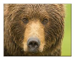 bill menzel - bears 03.jpg