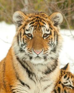 bill menzel - tiger 03.jpg