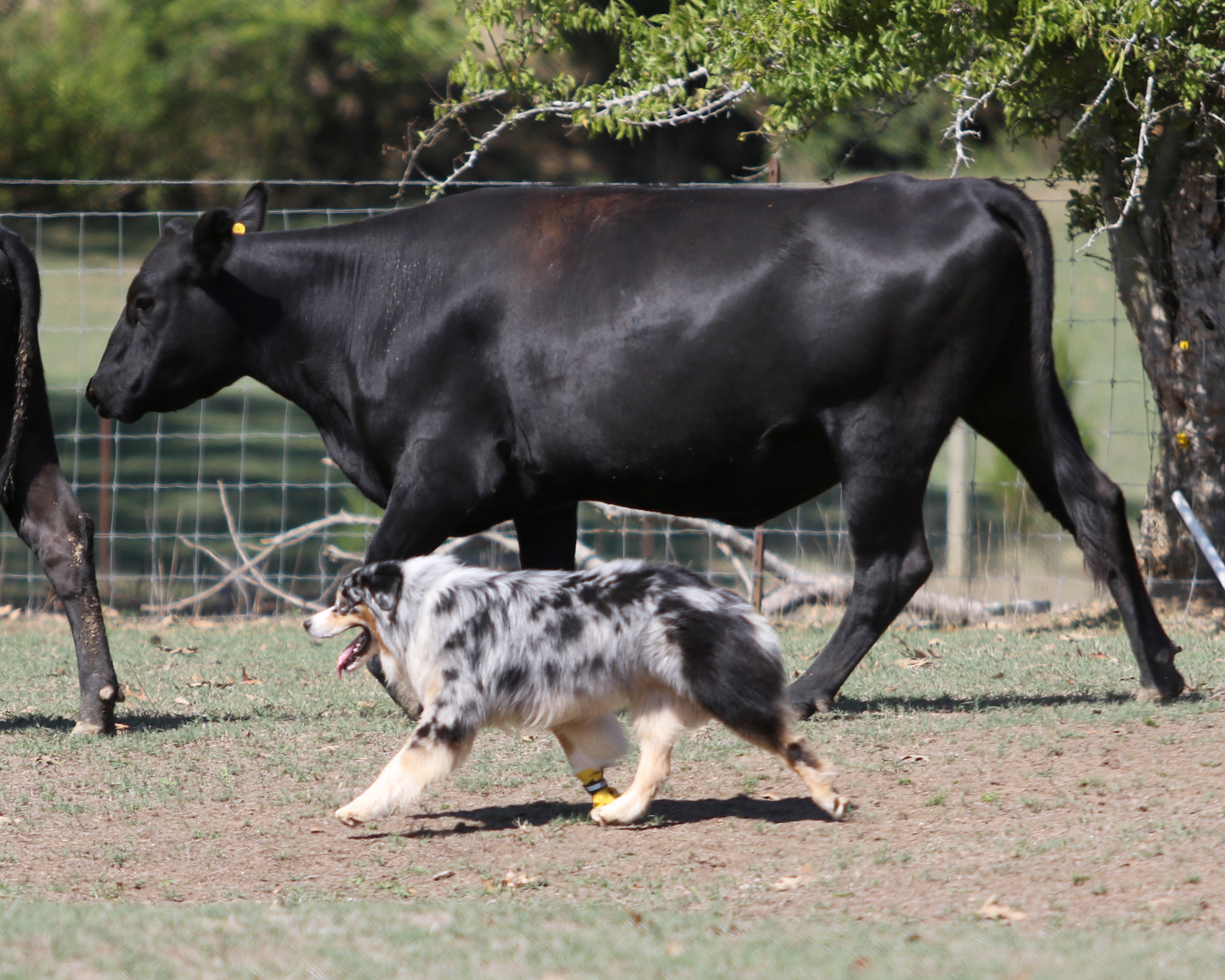 09.2016 Cattle