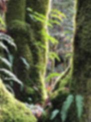 Cascades tree ferns.JPG