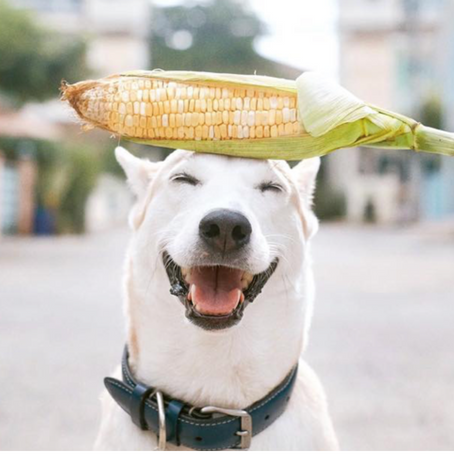 BBQ Corn On The Cob - Not So Good For Fido