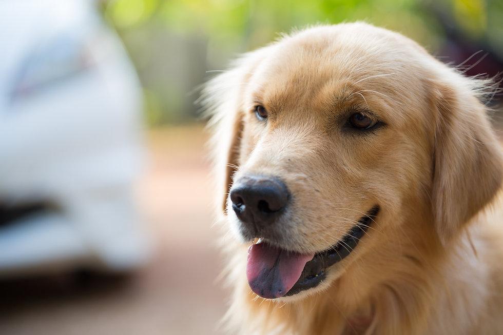 Photo of Golden Retriever