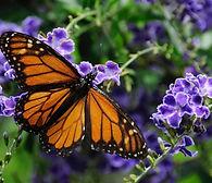 The Monarch Butterfly.jpg
