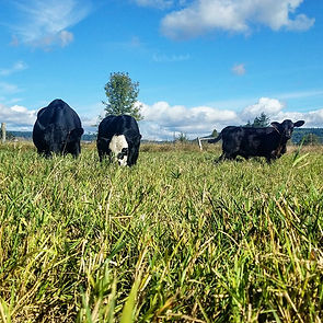 Jasper Springs Grass-fed grass-finishd beef for sale
