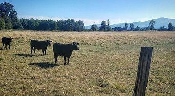 Jasper Springs Farm grass-fed beef