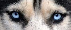 La tristement banale histoire de Boshee le malamute