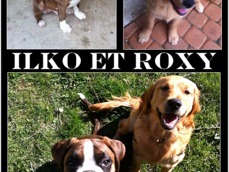 Focus sur Ilko, boxer, et Roxy, golden retriever, clients de La Voix du Chien LVC