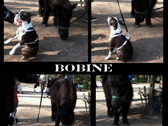 Focus sur Bobine, boston terrier, cliente de La Voix du Chien LVC