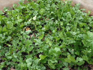 Growing Cilantro - preventing bolting growing all year-round