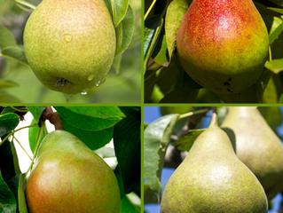 Combination Pear Tree?