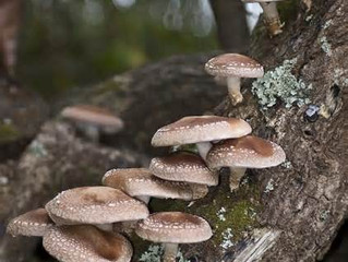 There's a Fungus Among Us - Growing Your Own Gourmet Mushrooms