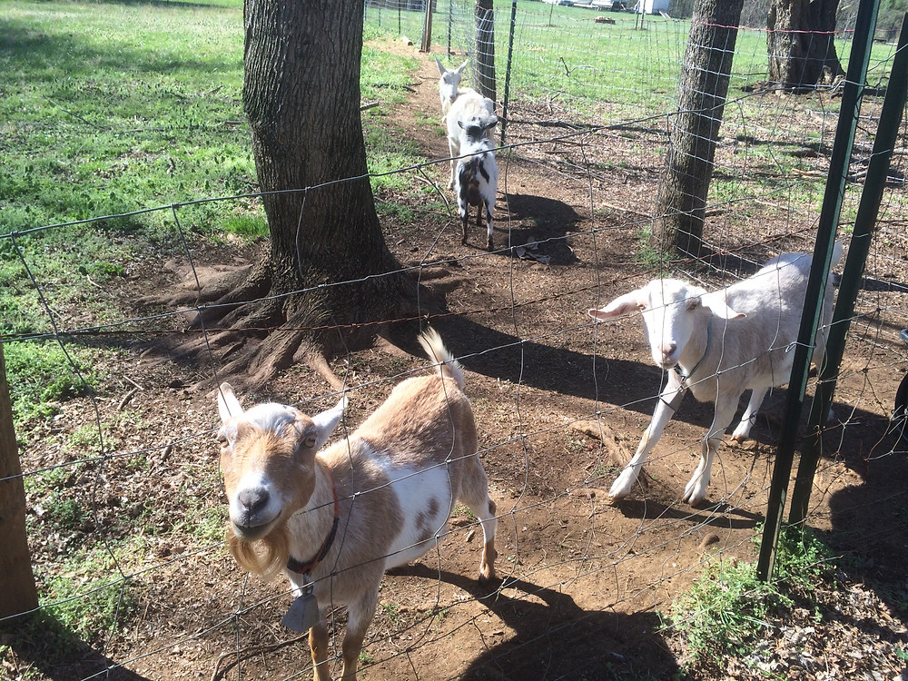 goats_edited.JPG