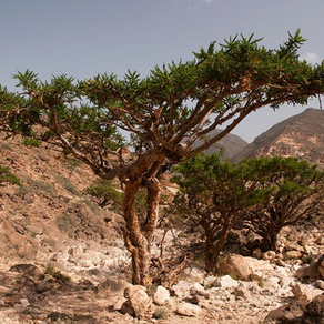 O olíbano pode ser um aliado na osteoartrite