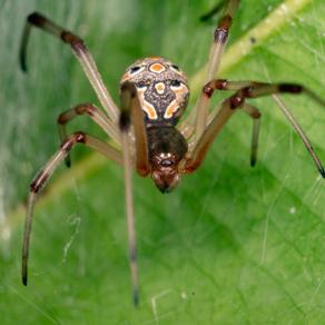 Óleos Essenciais repelem aranhas?