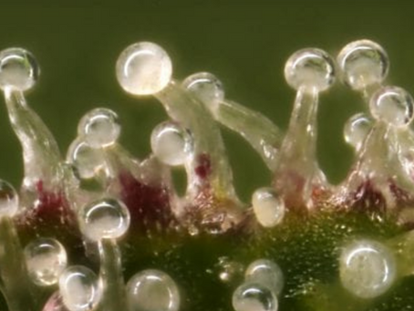 Onde as plantas armazenam seus aromas?