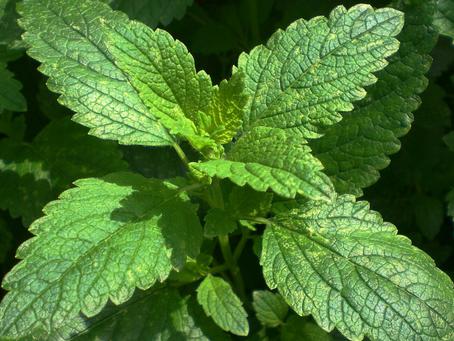 Óleo essencial de erva cidreira é antimicrobiano?