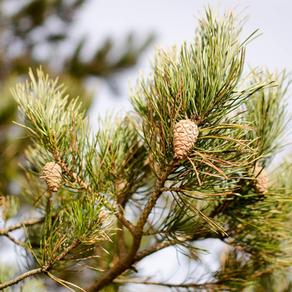 Óleo essencial de pinheiro silvestre e câncer de mama