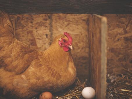 Óleo essencial de Alecrim e Canela melhoram a produção de ovos de galinha poedeira?