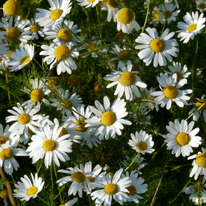Você sabia que a Camomila Alemã possui efeito anti-inflamatório e antialérgico?