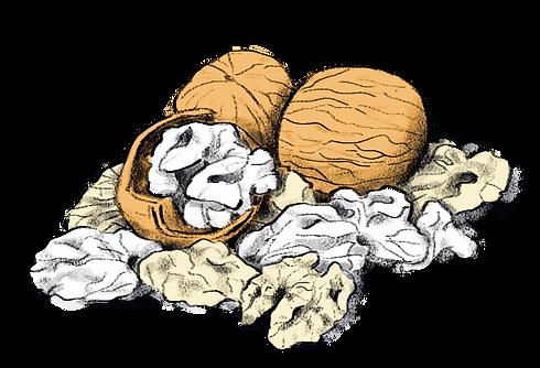 digital product illustration of walnuts
