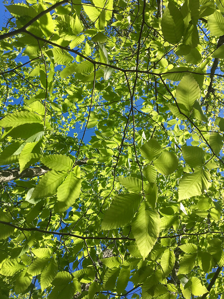 view of tree leaves from below