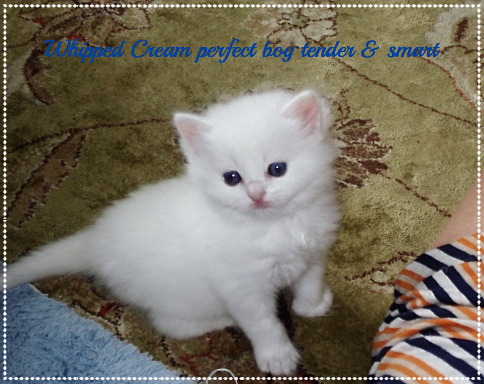 White Ragdolls of AmourToujours