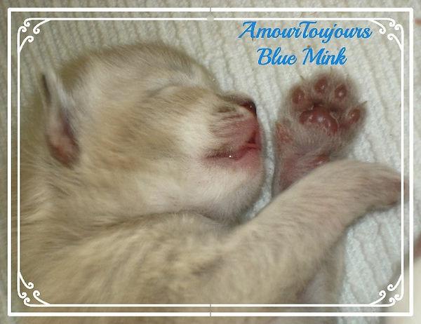 AmourToujours Ragdolls TICA Florida Blue Lynx MINK