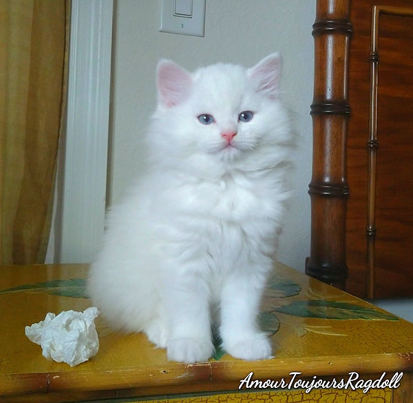 Pure White Ragdoll