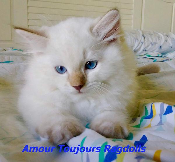 AmourToujours Ragdolls .jpg