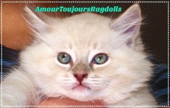 TICA Lilac Mink AmourToujours Ragdolls