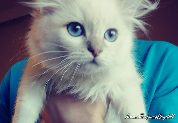 Lilac Lynx Blue eyed AmourToujoursRagdol