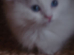 Ragdoll kitten PURE WHITE with blue eyes 239 200 3152