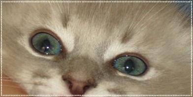 Blue Lynx Mink Ragdoll of AmourToujours