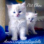 AmourToujours Ragdoll P'tit Chou _edited