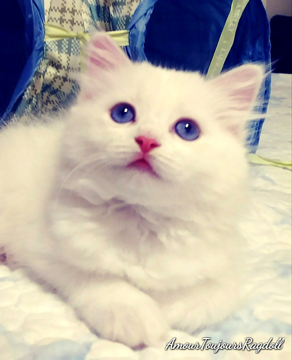 Blue eyed White Ragdoll .jpg
